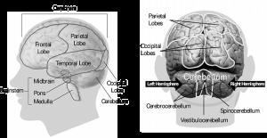 le cerveau vue avant et arrière