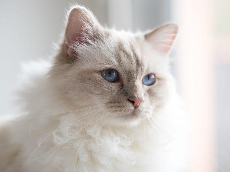 Quelle est l'alimentation adaptée pour un chat de Birmanie ?